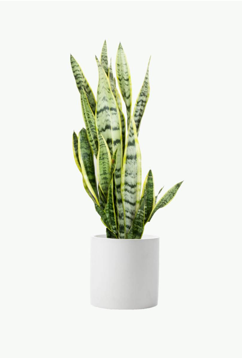 Sansevieria 'Snake plant'