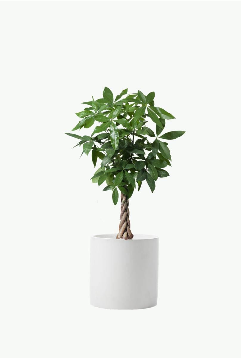 Pachira 'Money tree'