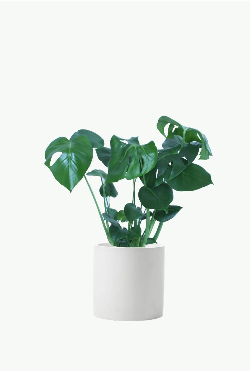 Philodendron 'Monstera'